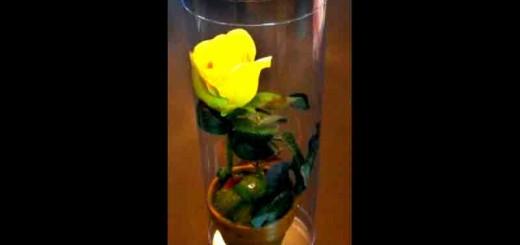 cilindri trandafir ghiveci
